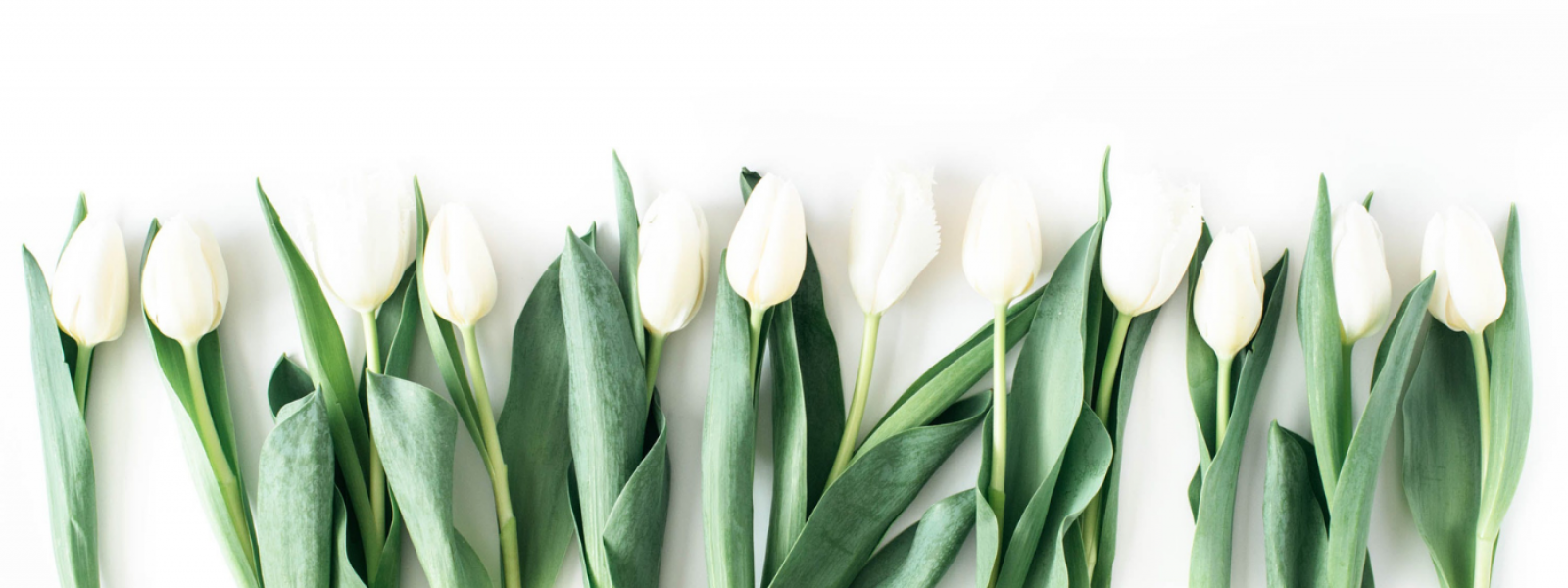 white tulips lined up in a row with bright green stems and leaves