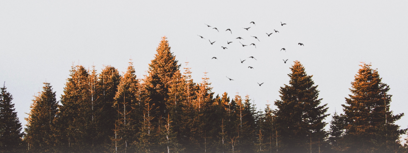 birds flying over the tops of trees