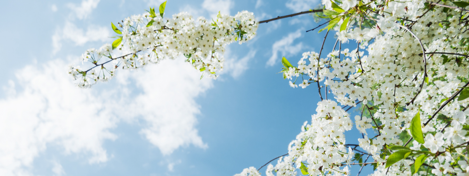 branch of white cherry blossoms against a blue sky