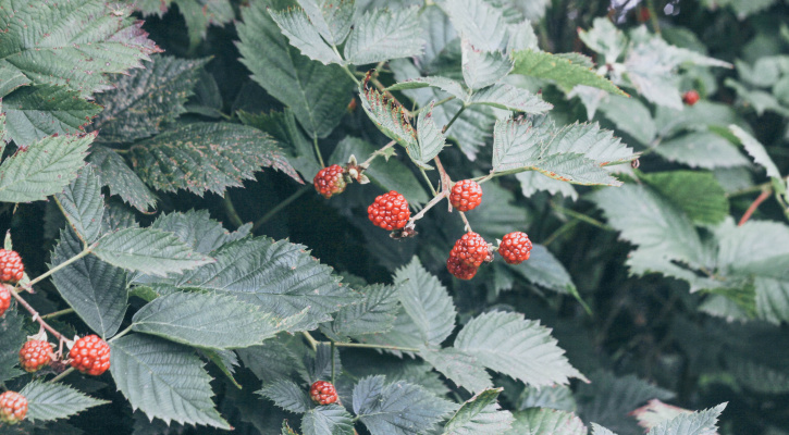 Raspberries on the vine/Photo by Stella de Smit on Unsplash